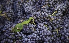 Vinsmaking - Fontanafredda