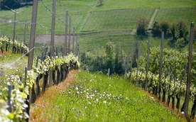 Vinsmaking - Costa di Bussia